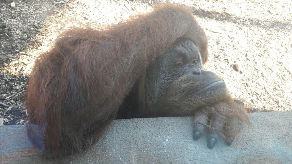 Roma Bioparco Scimpanzè